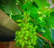 Fresh Green Grapes Background wallpaper stock images