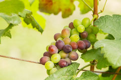 Fresh green grapes with green leaves Stock Images