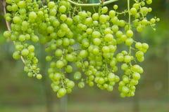 Fresh Green grapes on vine. Stock Images