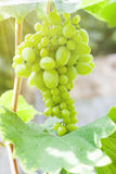 Fresh green grapes on vine Stock Photography