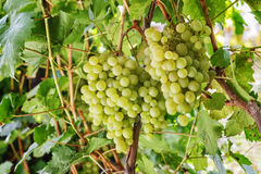 Fresh Green grapes on vine. Royalty Free Stock Photography