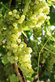 Fresh Green grapes on vine. royalty free stock images
