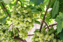 Fresh Green grapes on vine. Royalty Free Stock Photo