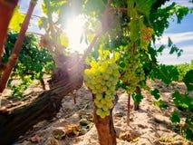 Fresh Green grapes on vine. Summer sun lights Stock Images