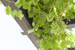 Fresh Green grapes on vine Royalty Free Stock Photos