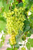 Fresh green grapes in vineyard Royalty Free Stock Photos