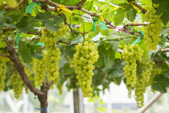 Fresh green grapes on vineyards Tak ,Thailand. Stock Photos
