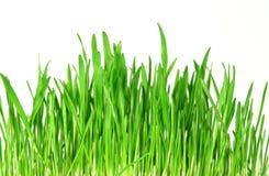 Fresh green grass Royalty Free Stock Photo