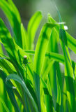 Fresh green grass. Royalty Free Stock Photography