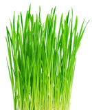 Fresh green grass Royalty Free Stock Photo
