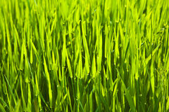 Fresh green grass Stock Photography