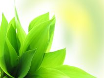 Fresh green grass. Foliage of a lily of the valley Stock Photography