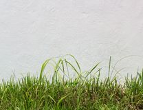 Fresh green grass against white stucco wall Royalty Free Stock Photos