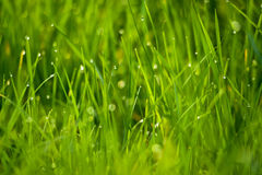 Fresh green grass as spring season background Stock Photos