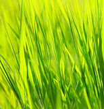 Fresh green grass background. Spring nature Stock Photo