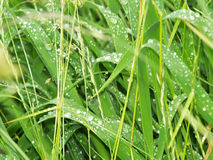 Fresh green grass background. Green gras with dew background Stock Photo
