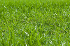 Fresh green grass background. With bright sun light stock image