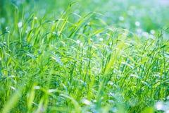 Fresh green grass background royalty free stock photo
