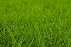 Fresh green grass background. Closeup soft focus texture.  stock images
