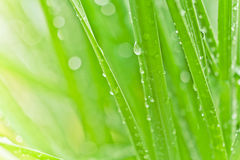 Fresh green grass background. Dew drops on fresh spring grass on a spring morning Royalty Free Stock Images