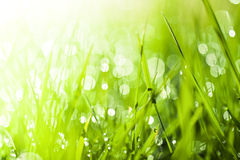 Fresh green grass background. Dew drops on fresh spring grass on a spring morning Stock Images