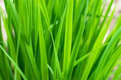 Fresh green grass background. Texture royalty free stock images