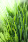 Fresh green grass background. Green grass background with morning dew Royalty Free Stock Photo