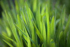 Fresh green grass background. Green grass background with morning dew Royalty Free Stock Photography