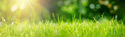 Fresh green grass background in sunny summer day. In park royalty free stock photo