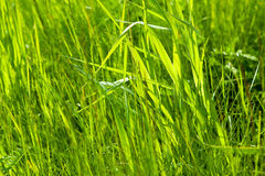 Fresh Green Grass Backlit Royalty Free Stock Images