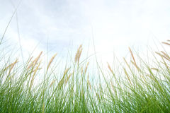 Fresh green grass in beautiful meadow Royalty Free Stock Image