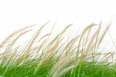 Fresh green grass in beautiful meadow when windy attack Royalty Free Stock Images