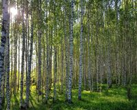 Fresh green grass and birch grove on summer. Spring scene in the birch woods. royalty free stock photography