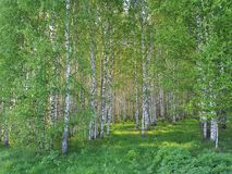 Fresh green grass and birch grove on summer. Spring scene in the birch woods. stock images