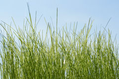 Fresh green grass on the blue sky background Stock Image