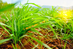 Fresh green grass close up with water drop and lighting flare effect Royalty Free Stock Photo