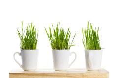 Fresh green grass in coffee cups Stock Images