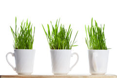 Fresh green grass in coffee cups Royalty Free Stock Photo