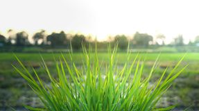 Fresh Green Grass In Country. Fresh Green Grass In Country Of Thailand Royalty Free Stock Image