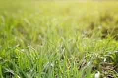 Fresh green grass in courtyard, closeup Royalty Free Stock Photo