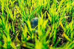 Fresh green grass with crystal ball Royalty Free Stock Images