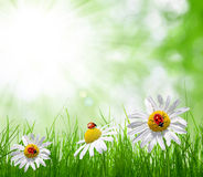 Fresh green grass with daisies Royalty Free Stock Photo