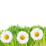 Fresh green grass and daisy flowers Stock Image