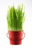 Fresh Green grass in decorative pot isolated on white Stock Photo
