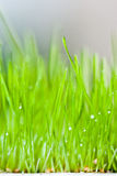 Fresh green grass and dew. Green fresh grass with dew, just sprouted Royalty Free Stock Photo