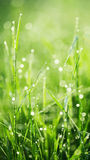 Fresh green grass with dew. Stock Photo