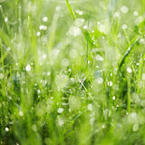 Fresh green grass with dew. Royalty Free Stock Photography