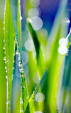 Fresh green grass with dew. Royalty Free Stock Images