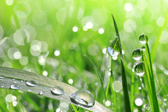 Fresh green grass with dew drop closeup Royalty Free Stock Images