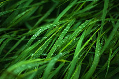 Fresh green grass with dew drops close up. Royalty Free Stock Photography